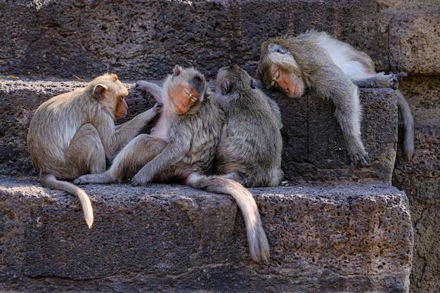 ロッブリータイ、プランサムヨット寺院の猿。