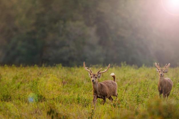 タイトゥンクラマンチャイヤプーム県の家族のサンセット鹿