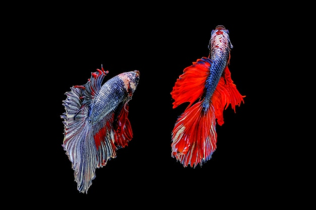 黒の背景に分離されたシャムの戦いの魚