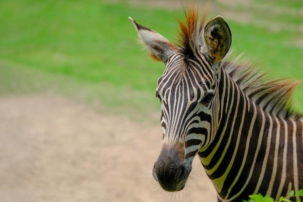 野生動物自然保護区のシマウマ