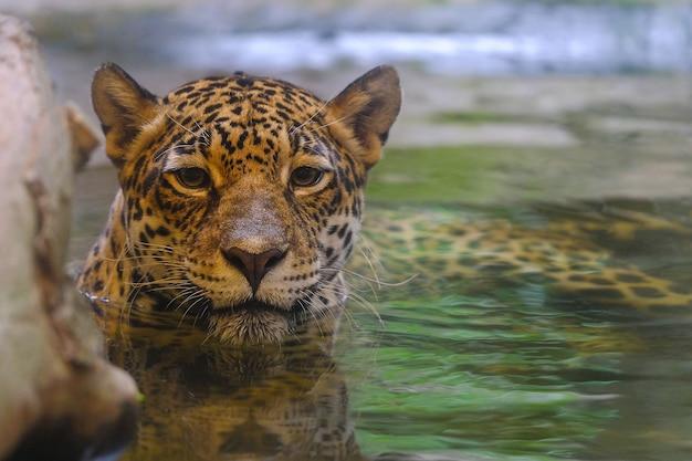 Леопард смотрит в воду