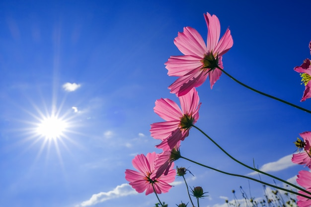 朝の暖かい日光に対してピンクのコスモスの花の庭