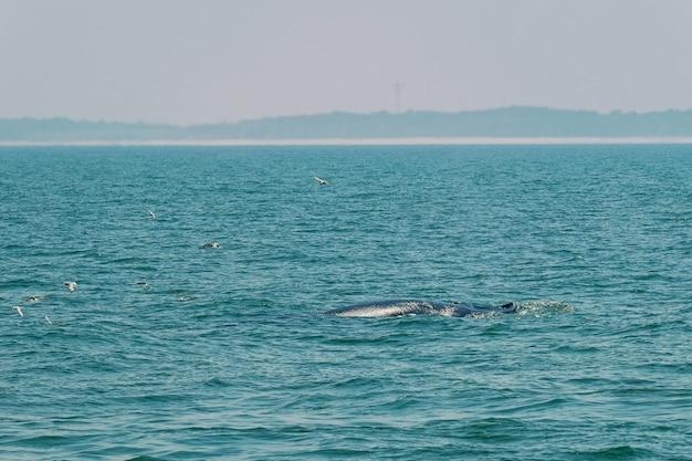 ブルダクジラグループは、バンタブンの海でダイビングします。