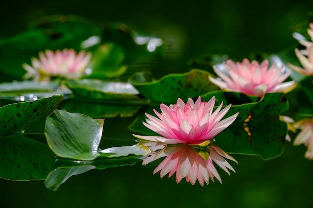 池の美しいピンクのスイレンまたはハスの花。