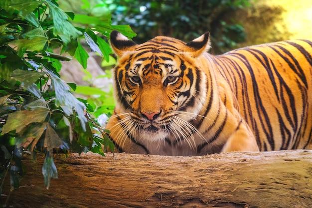 Сибирский тигр
