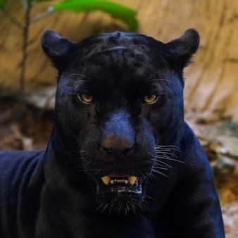 Черная пантера выстрелила крупным планом