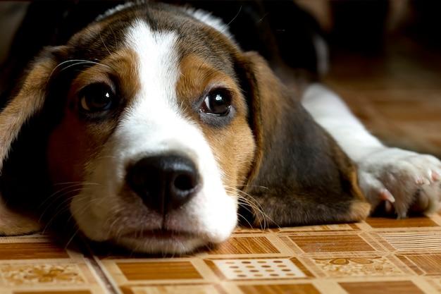 床に横たわってビーグル(ハウンド)子犬