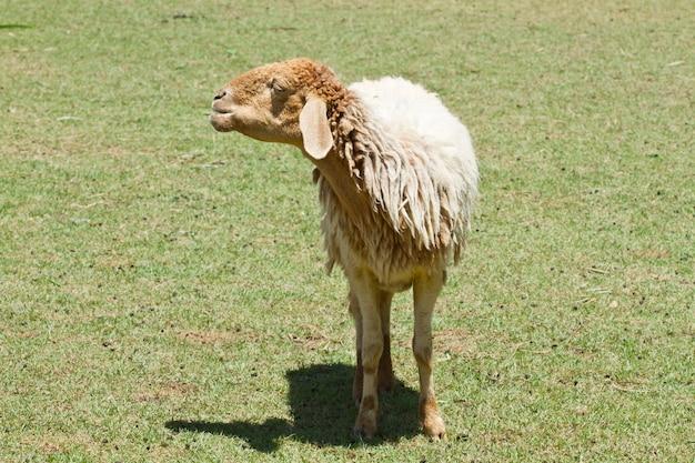 農場の羊とヤギ