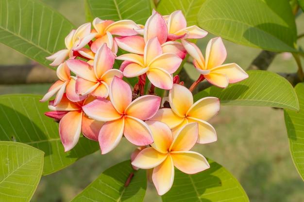 白黄色リーラワディー(プルメリアプディカ)の庭