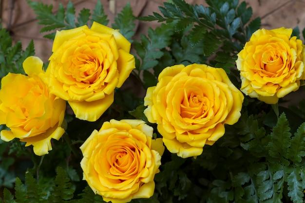 庭の黄色いバラ