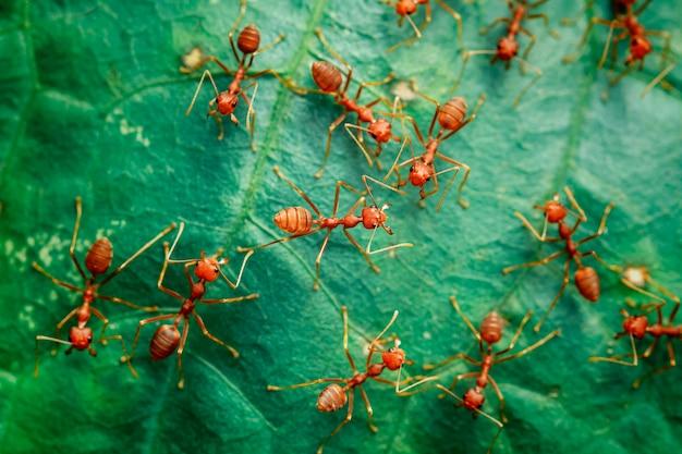 葉の上の赤い蟻