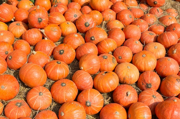 フィールドにカラフルなオレンジ色のカボチャ