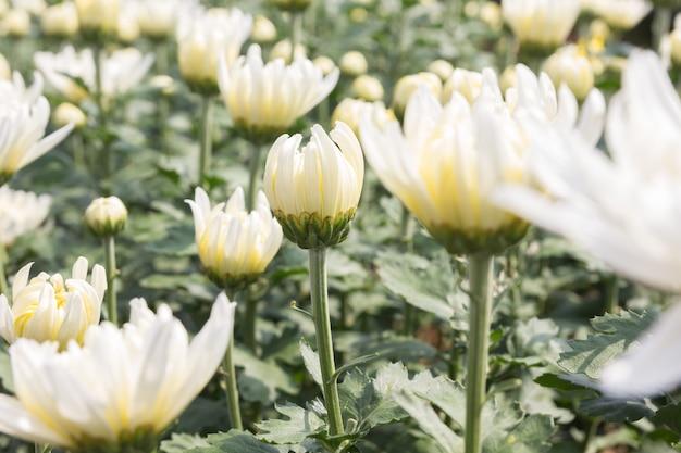 美しい白い菊の花