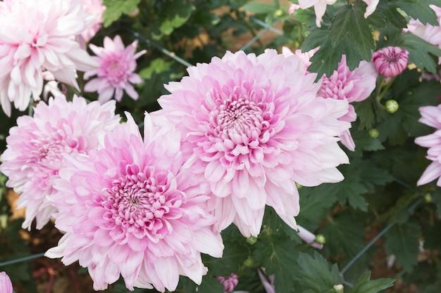 柔らかさフォーカスピンクの菊の花