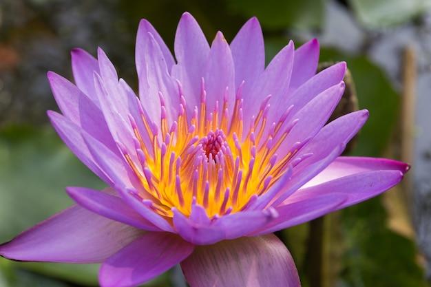 紫のスイレン(ハス)のクローズアップ