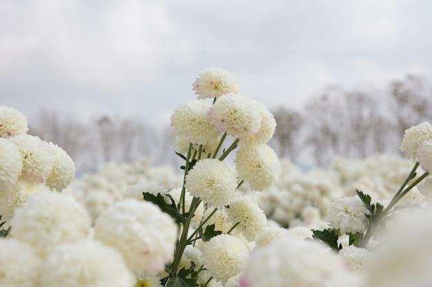 Красивый белый цветок хризантемы