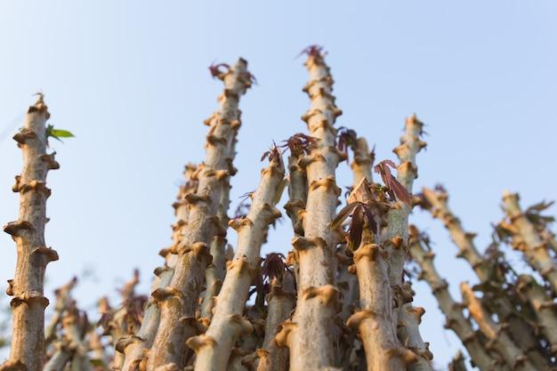キャッサバの初期の品種