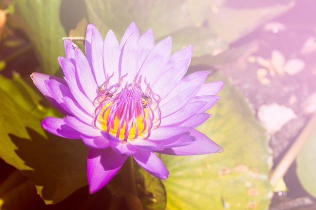 Крупным планом красивый цветок лотоса с листьями