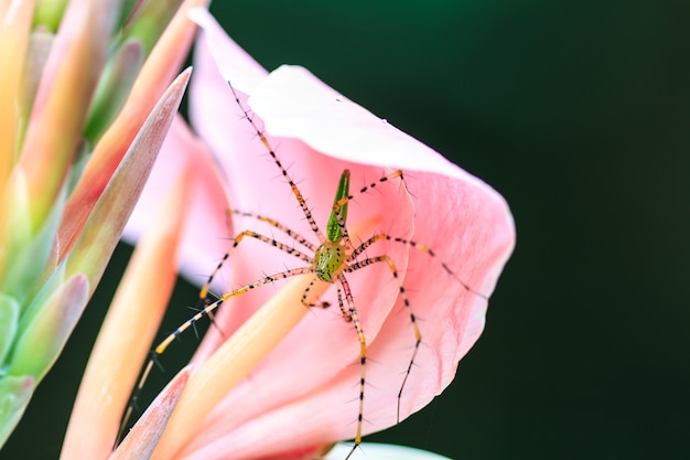 カンナの花にクモを閉じる