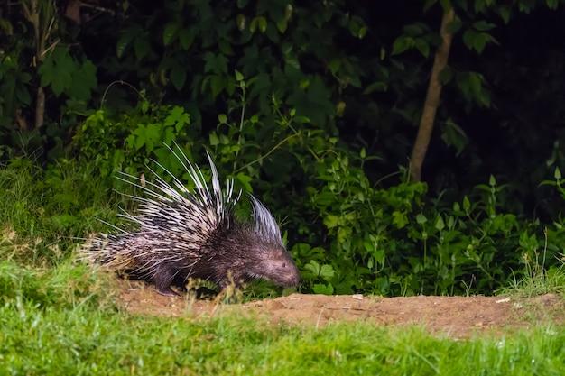 Малайский дикобраз в природе в ночное время