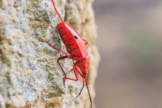 シカヌス属の樹上の昆虫