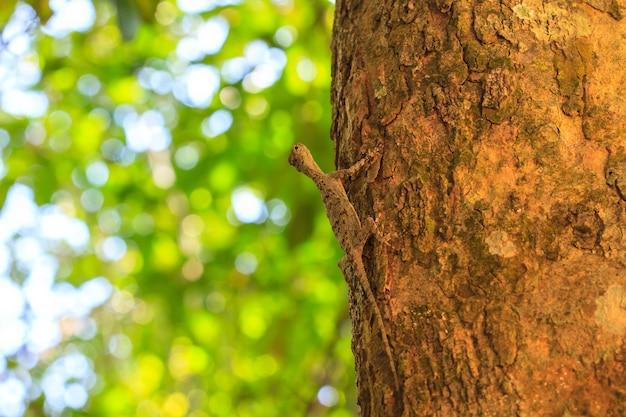 Красивая обычная скользящая ящерица или общий летающий драго