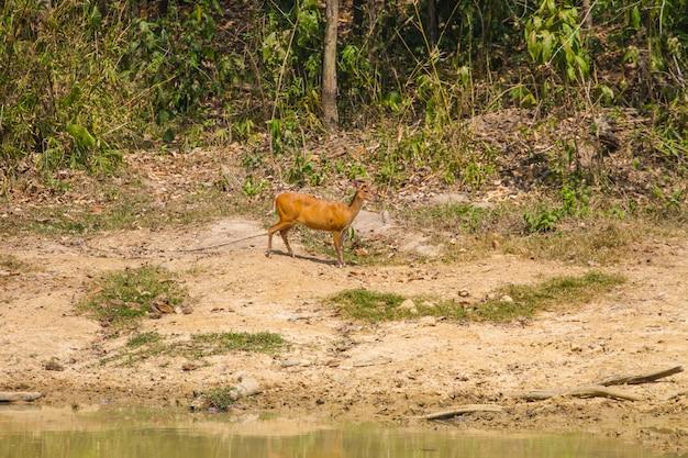 森の吠え鹿