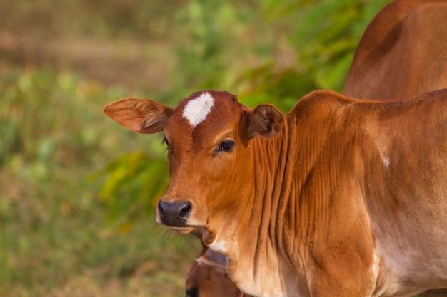 夏の畑で牛を食べる牛