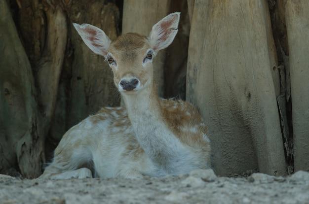 タイの農場で美しい白い尾の子鹿