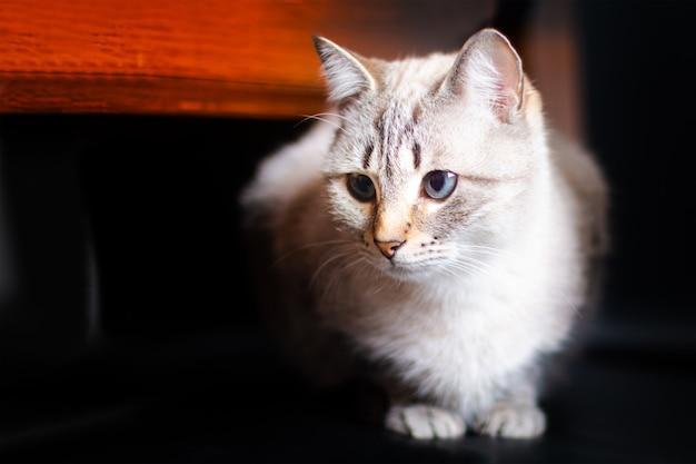 黒の椅子に座って木のテーブルの下に感情的な白の隠れ白と茶色の猫