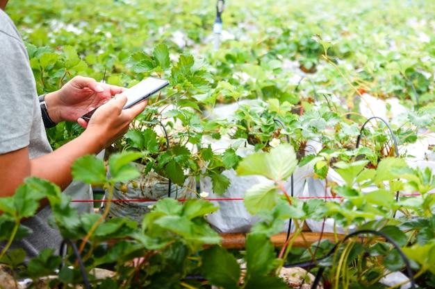 若い庭師はイチゴ園で携帯電話を使用しています。スモールビジネスコンセプト