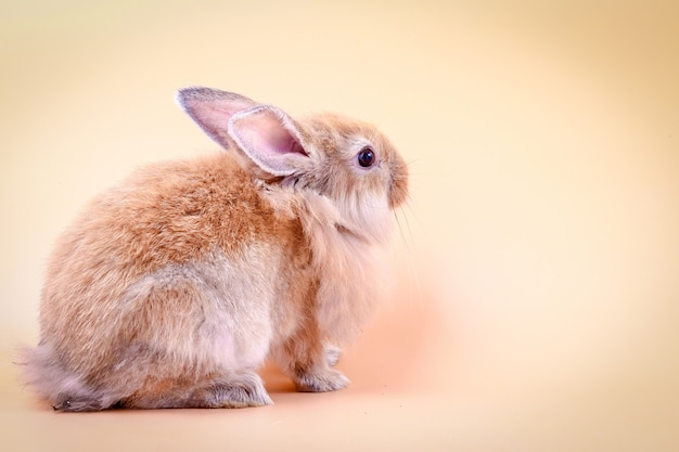 Коричневый пушистый маленький кролик на оранжевом фоне в студии.