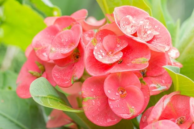 ピンクの花、ユーフォビア、棘の冠、キリストソーン