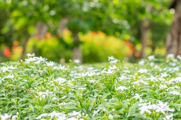 抽象的なぼやけた自然、白い花の茂み。