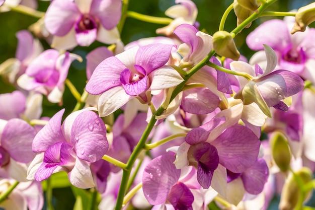 Фиолетовые орхидеи, дендробиум.