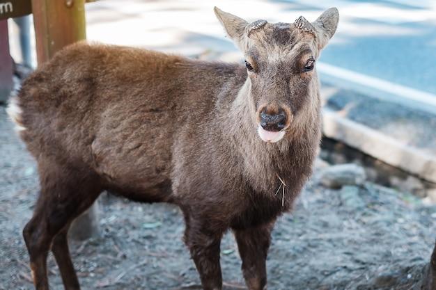 奈良公園と東大寺周辺の鹿。大阪近郊の奈良にアジア旅行者が訪れます。ランドマークであり、観光名所として人気があります。アジア旅行の概念