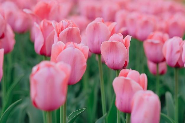庭に咲く美しいピンクのチューリップ