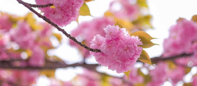 美しいピンク色の桜または庭に咲く桜