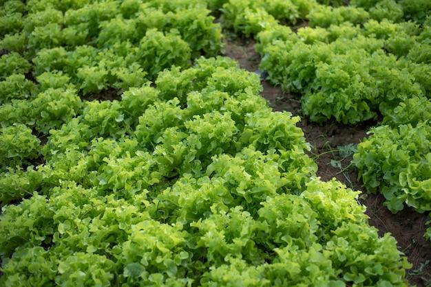 庭の有機グリーンオーク