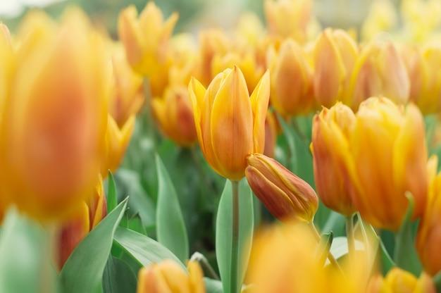庭のオレンジ色のチューリップ