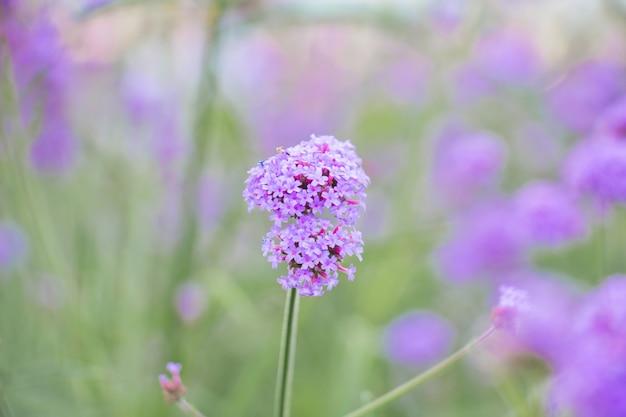 Фиолетовый цветок вербины в саду
