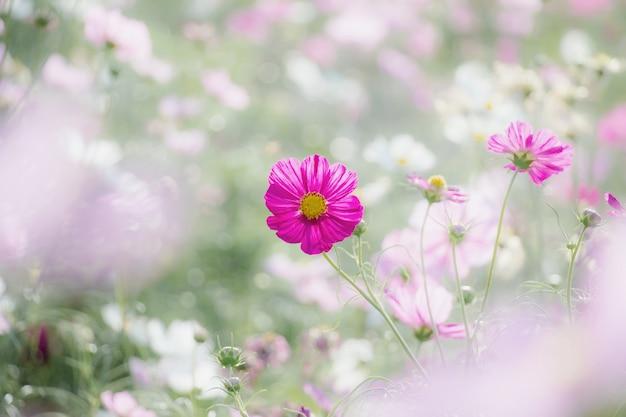 Розовый цветок космос в саду