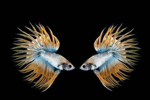 Желтая и синяя рыба бетта, сиамские боевые рыбы на черном фоне