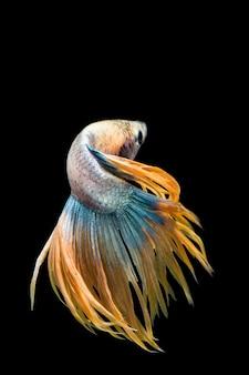 Многоцветная рыба бетта, сиамские боевые рыбы на черном фоне