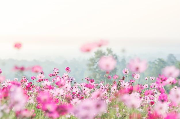 自然の中でコスモスの花、ぼやけた花ライトピンクとディープピンクのコスモス