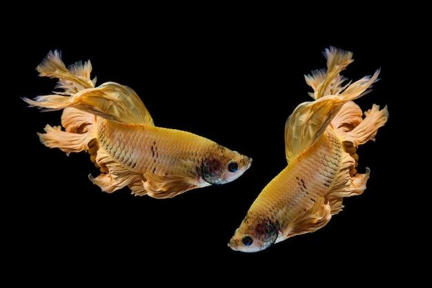 Желтое золото бетта рыбы, сиамские боевые рыбы на черном фоне