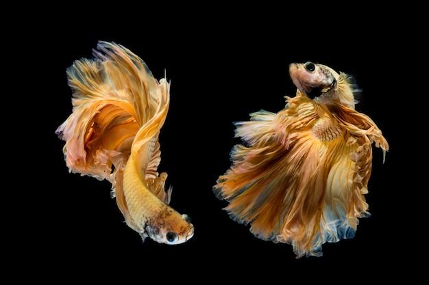 イエローゴールドのベタの魚、黒い背景にシャムの戦いの魚