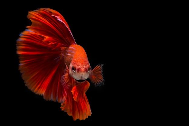 赤いベタの魚、黒い背景にシャムの戦いの魚
