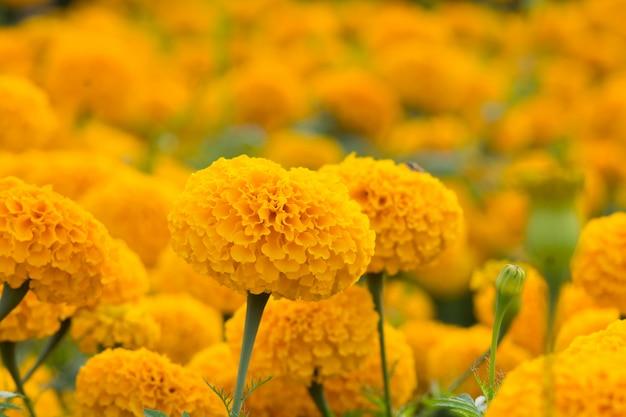 オレンジ色のマリーゴールドの花畑