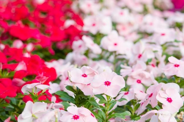 庭のビンカバラ色の花、様々な色の花の葉